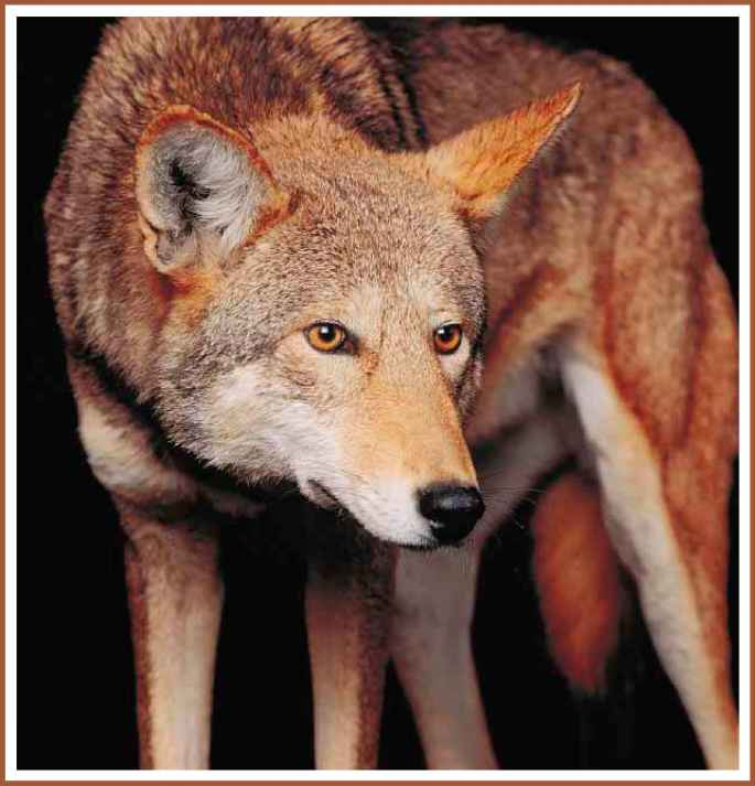 How Save Red Wolves