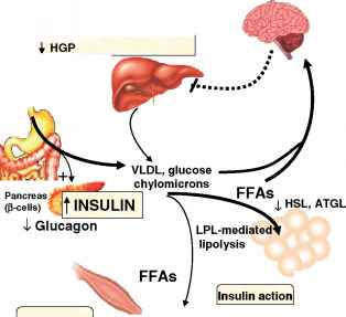 Insulin Tissue