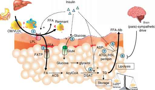 Adipocyte Lipolysis And Circulatory Ffa