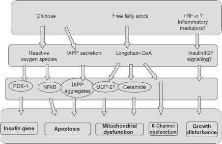 Lipotoxicity Beta Cell Dysfunction