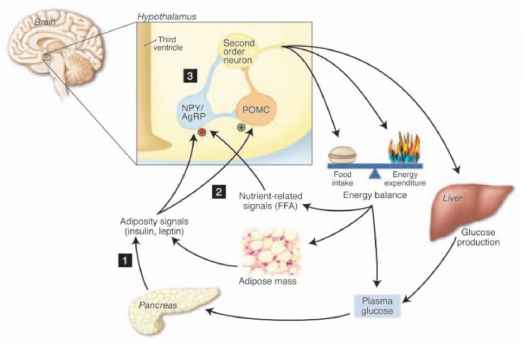Hypothalamus Energy Homeostasis Mc4r